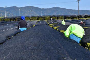 Culture ombrée du Kabusecha à Kagoshima