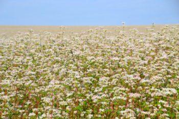 Champs de sarrasin en fleurs