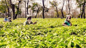 Des cueilleuses à l'ouvrage au Dikom Tea Estate (Crédits photo : Telegraph India)