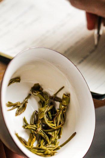 Thé Jaune de Chine - Or Jaune - Observation feuilles infusées