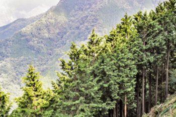 Une forêt de Cyprès Hinoki au Japon