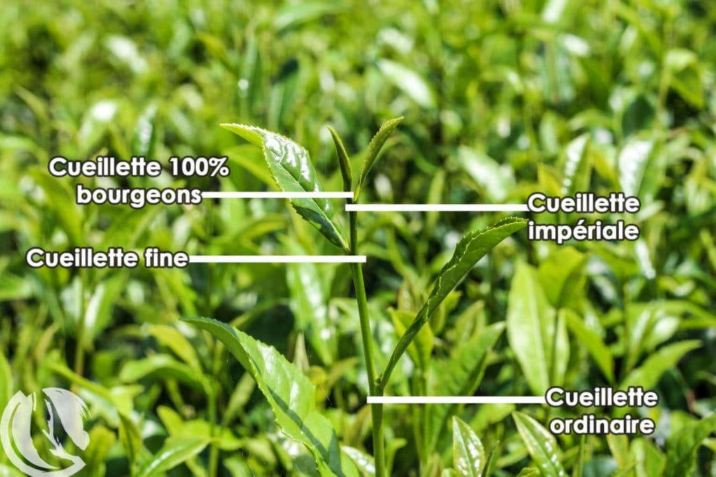 Les principaux grades de ceuillette du thé