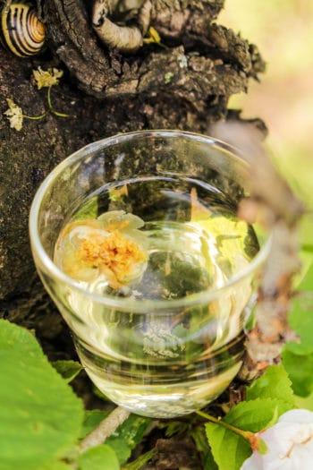 Fleurs de théier du Japon 「Chanohanami」