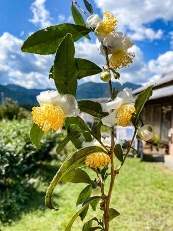Un théier en fleurs de la famille Tanaka, à Kawane-chô, Préfecture de Shizuoka (Crédits photo : URUSHIBATA Susumu)