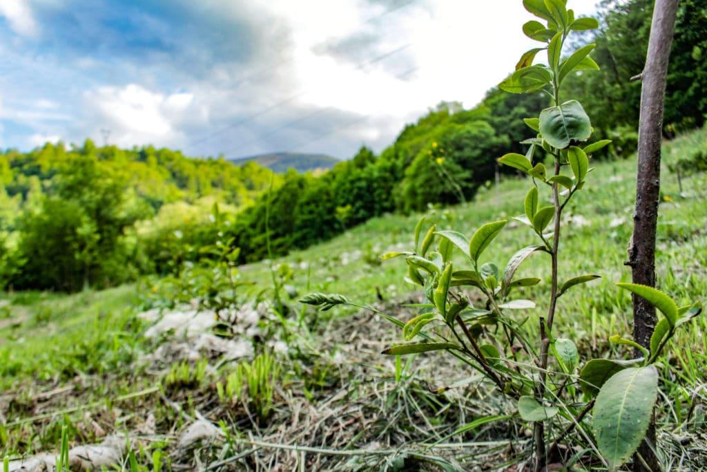 Théiers français des Pyrénées - Les Terrasses de l'Arrieulat