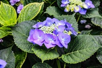 Hortensia 'Hydrangea Macrophylla' du Japon - Curiousitea