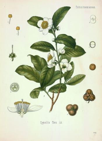 Camellia sinensis (L.) Kuntze in Köhler, F.E., Köhler's Medizinal Pflanzen (1883-1914)